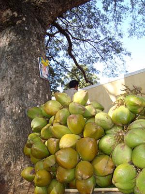 ashtanga-coconuts